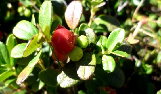 medvjetka,  Arctostaphylos uva ursi