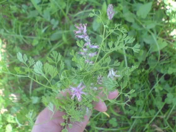 dimljača, Fumaria officinalis
