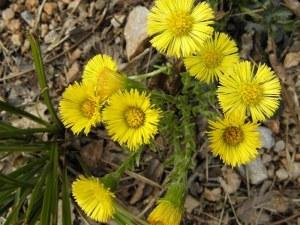 podbijel cvijet