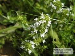 majčina dušica, T. pulegium, bijela