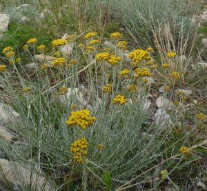 helichrysum italicum habitus