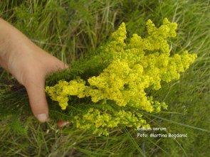 krvožilni-ivanjsko cvijeće2