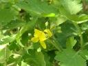 Rosopas, Chelidonium Maius L.
