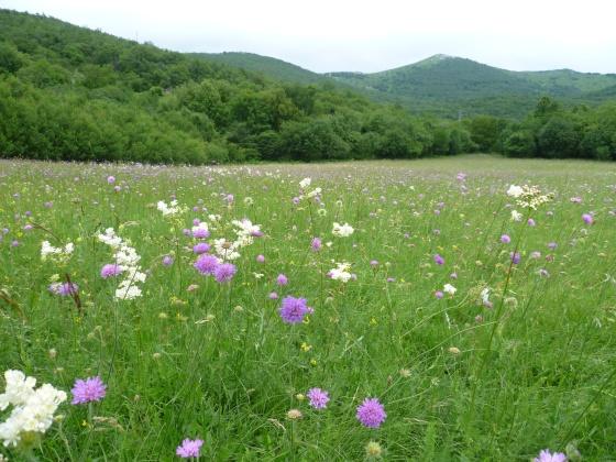 livada cvijeće.JPG