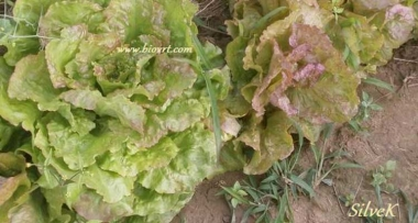 salata-silvek-biovrt