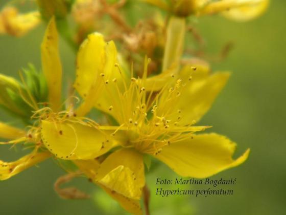 Hypericum perforatum, flos