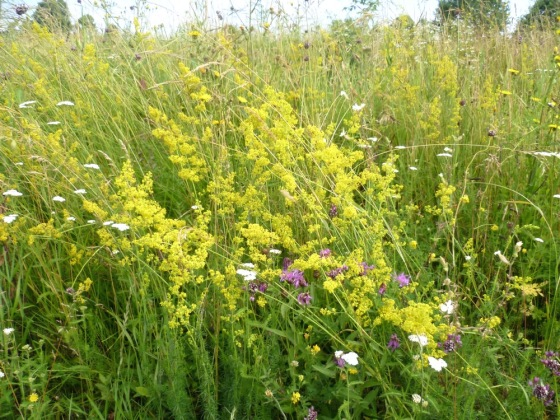 galium verum, ivanjsko cvijeće, bročika