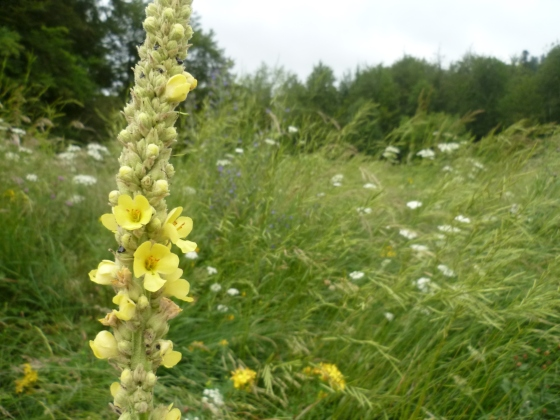 divizma cvijet