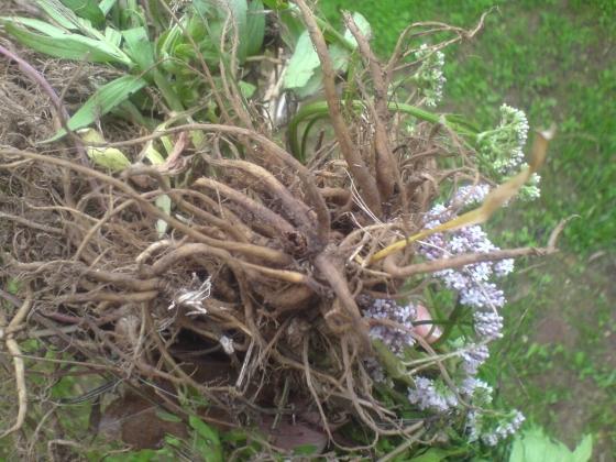 valerijana korjen